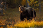 BROWN BEARS - FINLAND