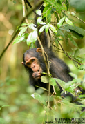 CHIMPANZEES AND GORILLAS OF UGANDA