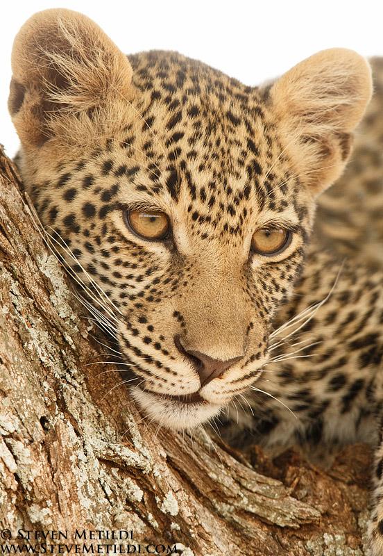 Lion, Giraffe, Leopard...