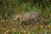 BRAZIL - JAGUARS OF THE PANTANAL