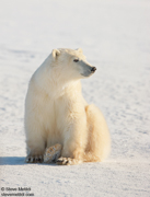 POLAR BEARS OF HUDSON BAY