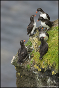 PUFFINS AND OTHER ALCIDS